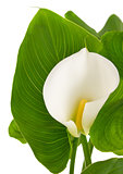 calla lilies with green leaves