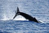 Splash of Humpback whale
