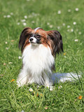 Continental Toy Spaniel on the green grass