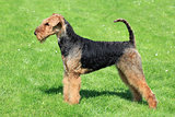 Airedale Terrier on the green grass