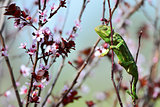 Green chameleon and pink flowers