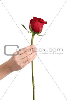Beautiful woman hand holding a red rose bud