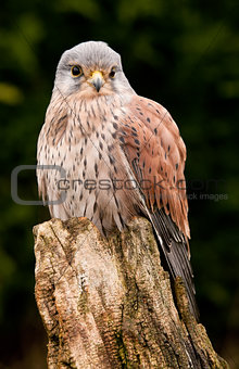 Kestrel perched close up