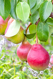 Fresh ripe pears
