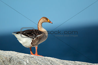 Domesticated greylag goose
