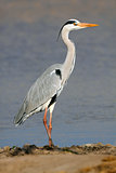 Grey heron