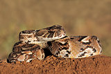 Puff adder
