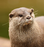 Oriental Short-Clawed Otter