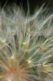 dandelion plant abstraction