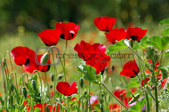poppy flowers in green field