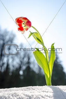 Tulip flower in the spring
