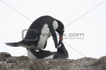 Mating penguins.