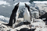 Two Adelie penguin near the nest.