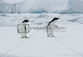 Two Adelie penguins on an ice floe.