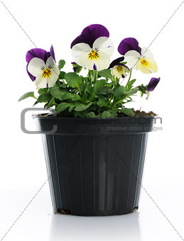 pot with pansy