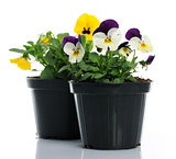pots with pansies