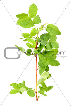 Branch with bud and green leaf