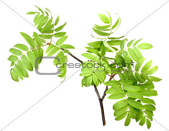 Branch of rowan wgreen leaf