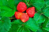 fresh strawberry with green leaf