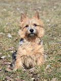 The portrait of Norwich Terrier