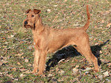 Irish Terrier in the park