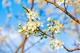 Apple blossom close-up. Shallow depth of field.