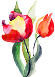Tulips flowers