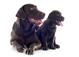 labrador retriever, adult and puppy