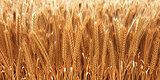 wheat