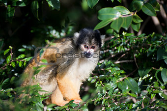 Bolivian black capped squirrel monkey, Saimiri Boliviensis Boliv