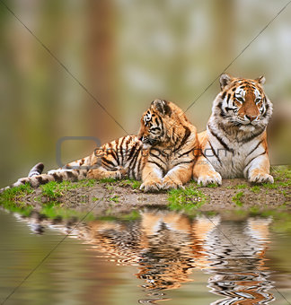 Beautiful image of tigress relaxing on grassy hill with cub