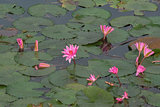 Pink lotus flower in water.