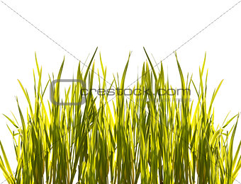 isolated closeup green grass on white