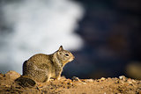 Brown Ground Squirrel at the Coast