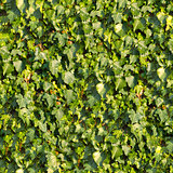 Ivy. Seamless Texture.