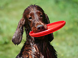 Funny Irish Setter