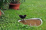 blackbird at bird bath