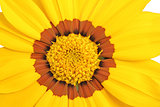 yellow and brown daisy flower