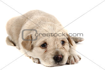 small labrador dog