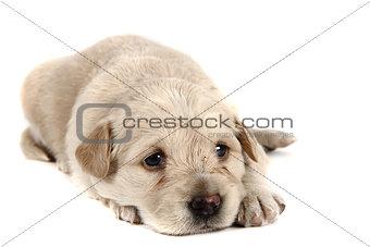 small labrador dog