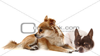 small chihuahuas isolated