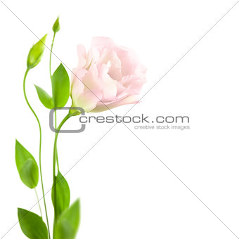 Beautiful  Flower with Buds isolated on white /  Eustoma ( Lisia