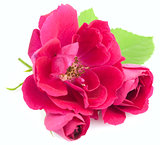 Beautiful  Red Rose Flowers with leaves isolated on white