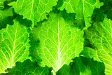 Fresh Lettuce /  green leaves background / makro