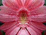 Bright pink gerbera daisy flower with water drops
