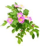 Branch of dog rose with flowers