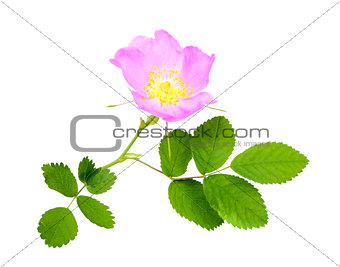 Branch of dog rose with leaf and flower