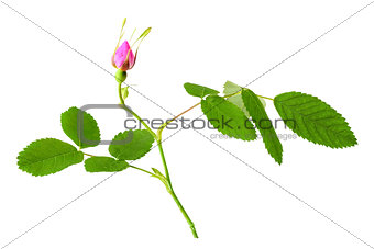Dog rose with leaf and bud