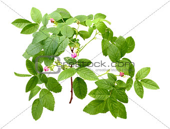 Dog rose with leafs and buds