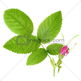 Dog rose with leaf and one bud